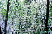 Dogwood in bloom (thumbnail)