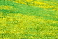 Field of Mustard in Bloom