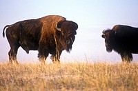 Buffalo grazing on range