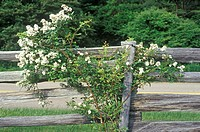 Flowers in bloom on wooden fence
