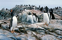 Gentoo penguins and chicks Pygoscelis papua at rookery in Paradise Harbor