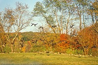 Autumn flight of Canadian Geese