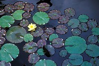 Close up of Lily pads