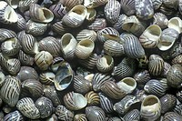 Pile of Snail Shells