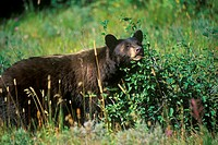 Black Bear eating huckleberries, Glacier National Park