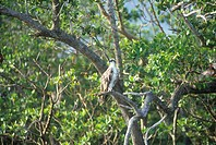 An Osprey sits in a tree at Everglades National Park