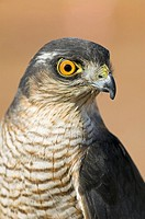 Sparrowhawk
