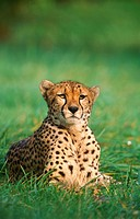 Cheetah (Acinonyx jubatus)
