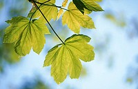 Maple leaves in spring. Germany