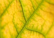 Leaf veins, extreme close-up