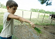 Boy standing next to fence, holding out handful of grass