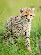 Cheetah Cub in the Masai Mara