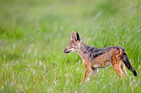 Black Backed Jackal sticks tongue out