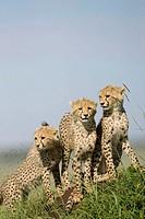 Cheetah cubs atop a termite mound in the Masai Mara