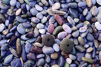 Close up view of sea urchin shells on pebbles at a beach