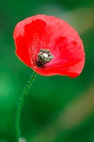 Corn poppy, close-up