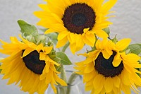 Sunflower Helianthus annus, close-up