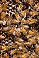 Honey bees Apis mellifera on honeycomb