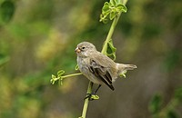 Small Tree Finch, Camarhynchus parvulus, female
