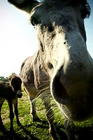 Close-up of a donkey standing with a baby donkey in a field
