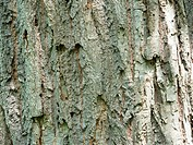 Bark of Chestnut