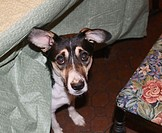 mixed-breed tricolor dog peeking out from under tablecloth in dining room, looking somewhat guilty - part of dining room chair with embroidered seat s...
