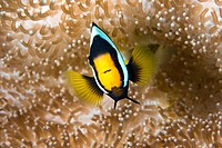 Close_up of Yellowtail clownfish Amphiprion clarkii underwater