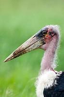 Marabou Stork (Leptoptilos crumeniferus). Serengeti, Tanzania, Africa.