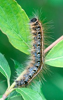 Eastern tent caterpillar, Malacosoma americanum. Michigan, USA