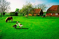 Horse and two ducks on a farm, Bronkhorst, Netherlands