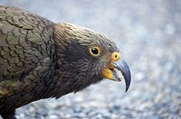 New Zealand, South Island, West Coast, Franz Josef Glacier, Kea, New Zealand Alpine Parrot _ Nestor notabilis.   2005