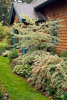 Perennials & shrubs frame front entrance to home (Cornus alternifolia ´Argentea´; Fuchsia magellanica cv.). Wall, Lummi Is., WA
