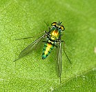 Metallic green fly. Insecta. Diptera. Michigan, USA