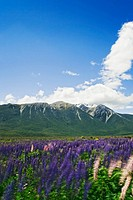 New Zealand, South Island, Canterbury, Bealey Spur, lupins, summer
