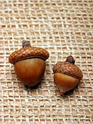 Two acorns side by side