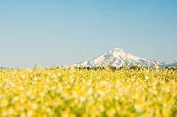 USA, Eastern Oregon, Oxeye Daisies Chrysanthemum leucanthemum, Mt  Jefferson in background