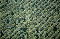 Sweden, Varmland, cultivated pine trees, full frame, aerial view
