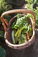 Basket filled with rainbow chard in garden, elevated view