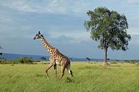 Giraffe in grasslands of Masai Mara near Little Governor´s camp in Kenya, Africa