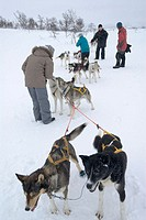 Sledge dogs in Storlien, Sweden