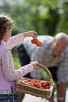 Girl 8-10 carrying basket of tomatoes, showing bunch to grandfather working in vegetable garden