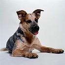 Portrait of a Australian Cattle Dog Lying Down