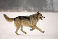 Wolf (Canis lupus). Minnesota. USA
