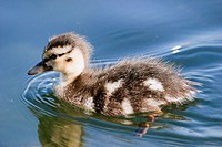 Baby Duck on Lake Ontario Canada