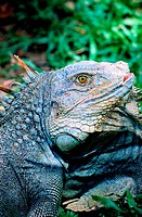 Costa Rica, Indian reserve, green iguanas breeding