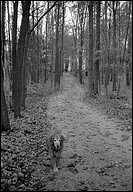 Golden retriever walking along forest path