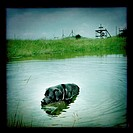 Black lab swimming in pond