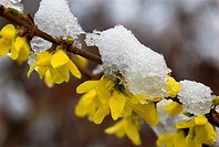 Hybrid-Forsythia (Forsythia x intermedia). Garden flower, backwinter in spring, flower and snow, Franconia, Germany
