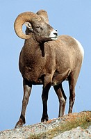 Bighorn sheep, ram (Ovis canadensis), Icefields Parkway, Rocky Mountains, Jasper national park, Alberta, Canada