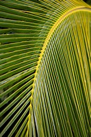 Hawaii, Closeup of a green palm leaf